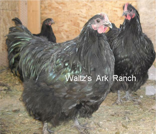 Waltz's Ark Ranch - ENGLISH ORPINGTONS